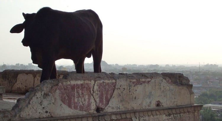 Cow on rooftop in India at Jaipur monkey temple-India-Treatment Centers Turn to Integrative Oncology and Anti-Aging